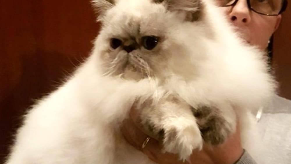 Esposizione Felina A Verona è Un Gatto Persiano Il Cucciolo Più Bello